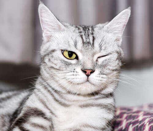 Kat med et lukket øje illustrerer øjenproblemer hos katte