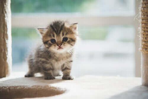 En lille killing kigger på kamera