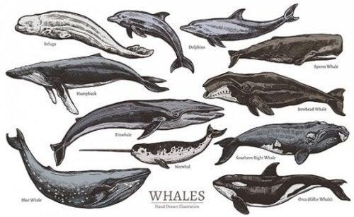 Hvalarter, cetacea, og deres klassifikation