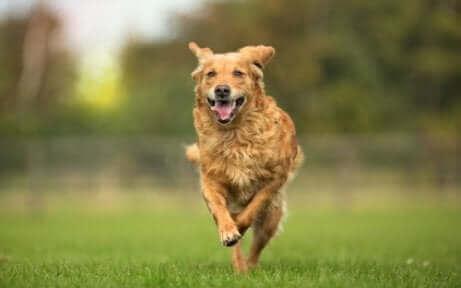 En hund, der løber rundt, nyder resultatet af osteopati til dyr