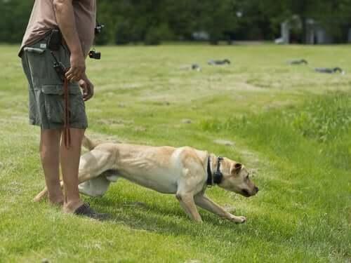En labrador leger med sin ejer