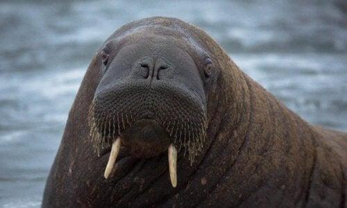 Denne underart af hvalros lever udelukkende i Laptevhavet, på den østlige kyst af Sibirien