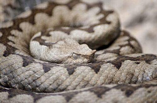 Nærbillede af en slange