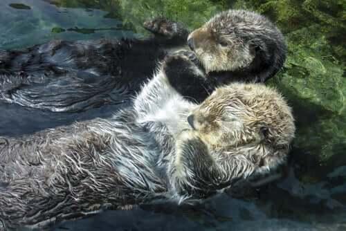 Oddere hviler sig i vand