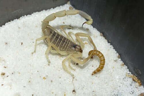 De fleste skorpioner er natjægere, og de lever af insekter, edderkopper og mindre leddyr. Nogle spiser også larver og regnorme