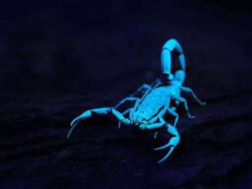 Af ukendte årsager lyser skorpioner under ultraviolet lys. Det vil sige, at skorpionens skjold eller hud absorberer ultraviolet lys og reflekterer det som synligt lys for det menneskelige øje