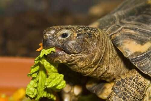 Skildpadde spiser et salatblad, da kost er en vigtig del af at passe en vandskildpadde