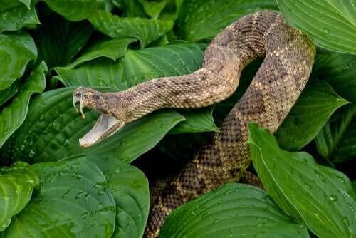 Slange med åben mund og hugtænder