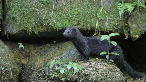 Minkens pels er tæt og skinnende, med en farve, der varierer afhængigt af årstiden. Om vinteren dominerer normalt mørke og brune farver. Om sommeren forkortes pelsen, og dens farver er mere dæmpede