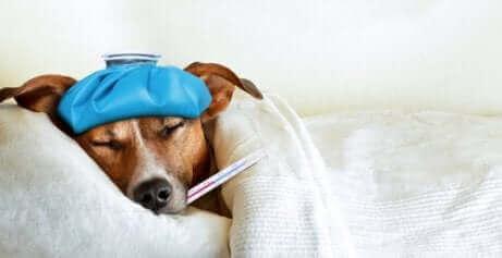 Hund med termometer i mund illustrerer hundesygdomme