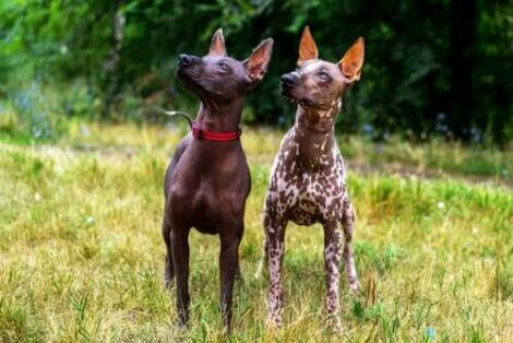 Den mexicanske hårløse hund er en af de ældste hunderacer i verden
