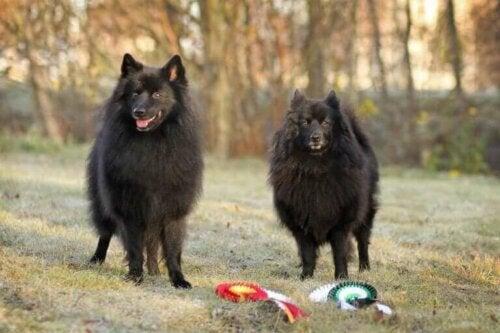 Spidshunde: Alt, hvad du bør vide