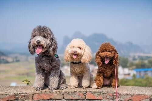 Tre hunde på stribe