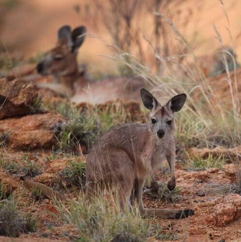 Den almindelige Wallaroo er muligvis den mest slående af alle kænguruer