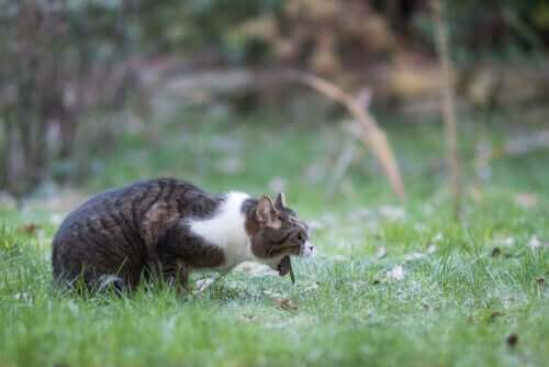 Akut opkast hos katte - årsager og løsninger