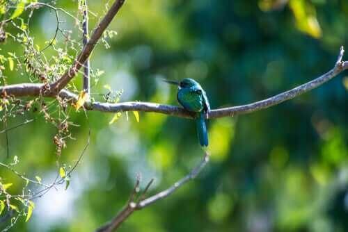 Den rødhalede jacamar - kendetegn hos en spurvefugl