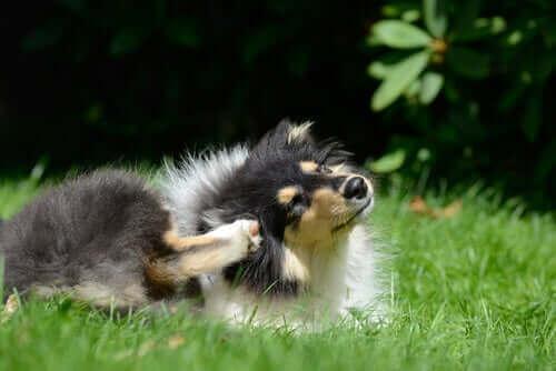 Videnskabelige årsager til, at hunde kradser sig selv