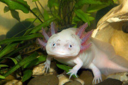 Hvad er en axolotl for et dyr?