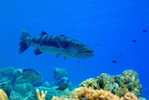 En barracuda ser glubsk ud