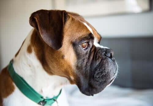 Boxerhund med grønt halsbånd