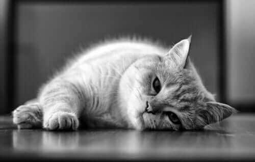 Leishmaniasis hos katte: Årsager og behandling