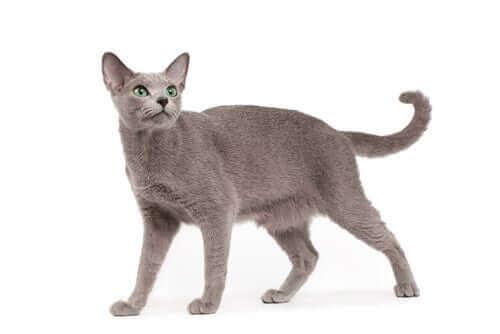 grå kat