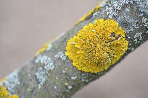 gren med svampeart
