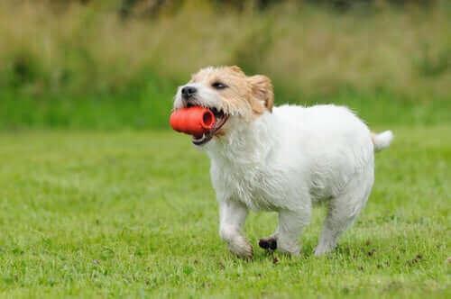 hund, der løber med legetøj i munden