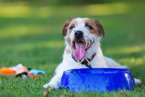 hund med stor vandskål