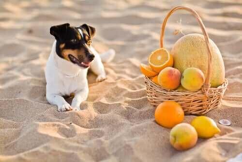Hund på strand med kurv fyldt med appelsiner symboliserer vitamin C til hunde