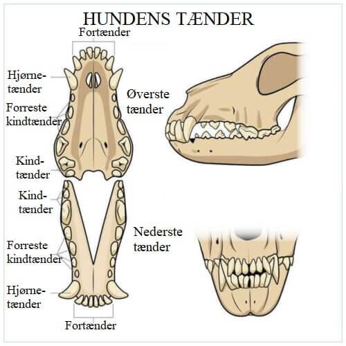 Tænder er en vigtig faktor i forhold til en hunds fordøjelsessystem