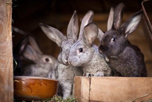 grå og sorte kaniner