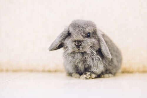 en kanin med hængende ører er eksempel på gode kaniner som kæledyr