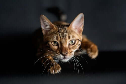 Hvorfor har katte knurhår på forbenene?