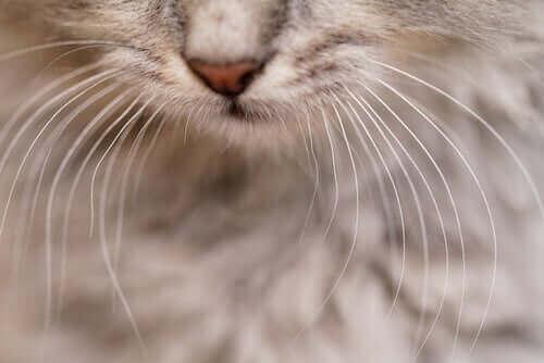 Nærbillede af en kats knurhår
