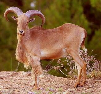 Er mankefår en invasiv art?