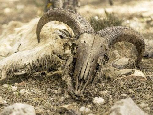 skelet efter et dødt får