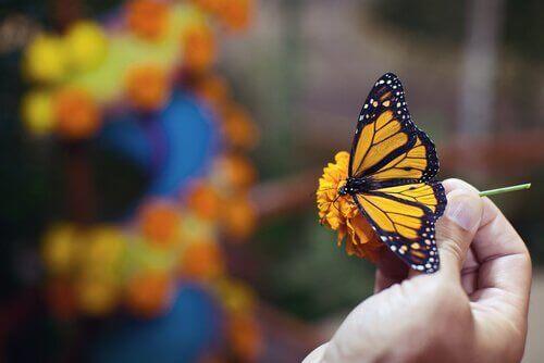 Monark sommerfuglen (Danaus archippus) har meget stærke farver. Den ydre del af deres vinger er orange, sammenflettet med sorte streger