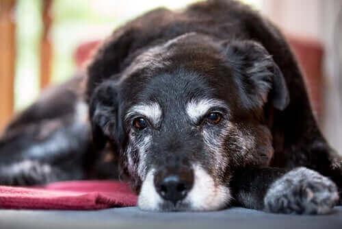 Årsagerne til muskelsvind hos hunde