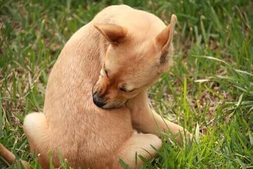 Nældefeber hos hunde – Årsager og behandling