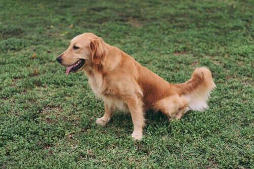 Diæter til hunde med en nyresygdom