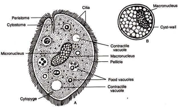 opbygning af encellede parasitter