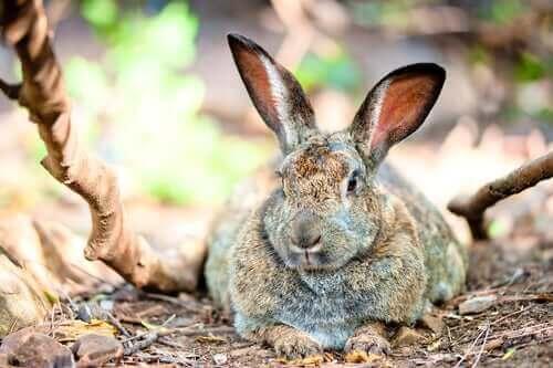 En stor kanin, der ligger ned, illustrerer overvægt hos kaniner