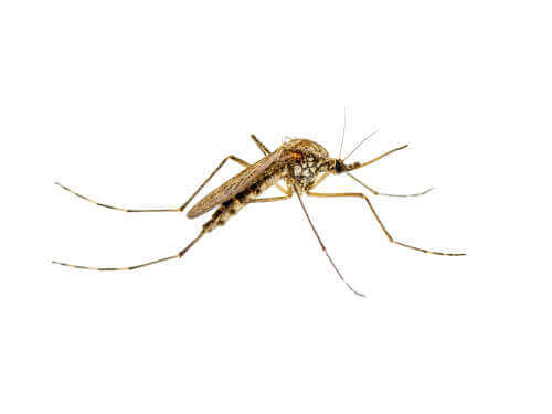 Myg på hvid baggrund