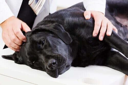en hund tjekkes af dyrlægen