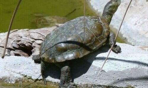 Skildpadde på sten
