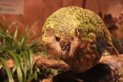 Den kæmpe papegøje minder meget om en art af papegøjer, der stadig lever i øjeblikket. Dette dyr er den meget mærkelige kakapo (Strigops habroptilus), også kaldet uglepapegøjen