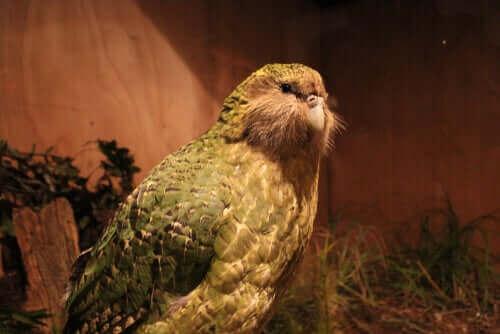 En kæmpe papegøje er blevet opdaget i New Zealand!