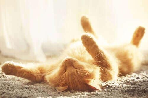 Sådan ved du, om din kat er kølig om sommeren