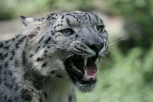 En sneleopard knurrer